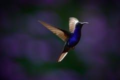 Flyga den stora blåa kolibrin Violet Sabrewing med den suddiga mörka violetta blomman i bakgrund Royaltyfri Bild