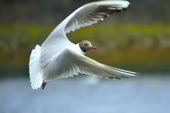 Flyga den svarta Head seagullen Arkivbilder