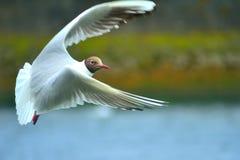 Flyga den svarta Head seagullen Royaltyfria Bilder