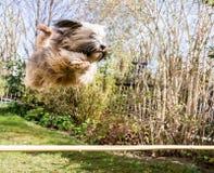 Flyga den tibetana Terrier hunden Royaltyfri Fotografi