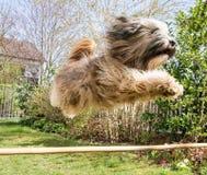 Flyga den tibetana Terrier hunden Royaltyfria Bilder