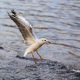 Flyga denhövdade fiskmåsen Royaltyfri Bild
