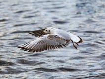 Flyga denhövdade fiskmåsen Royaltyfri Fotografi