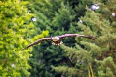 Flyga djärva Eagle Arkivfoto