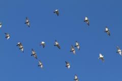 flyga för duvor Arkivbild