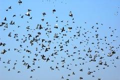 flyga för duvor Royaltyfri Fotografi