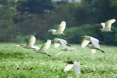 flyga för egrets Fotografering för Bildbyråer