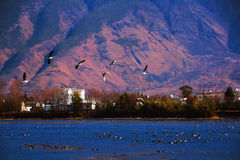 Flyga för fåglar Royaltyfria Bilder