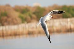 Flyga för fiskmåsar Seagullsfluga över havet arkivfoton