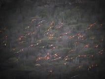 Flyga för flamingo Arkivfoto