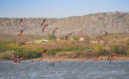 Flyga för flamingo Arkivbilder