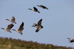 Flyga för gäss Royaltyfri Fotografi