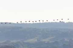 Flyga för gräsandänder Royaltyfri Fotografi