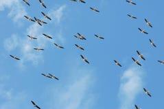 Flyga för pelikan Arkivfoton