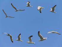 Flyga för Seagulls Arkivbild