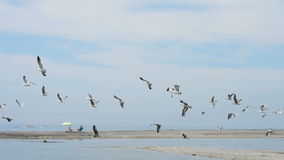 Flyga för Seagulls arkivfilmer