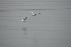 flyga för 2 seagulls Royaltyfria Bilder