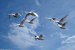 Flyga för svanar royaltyfri fotografi