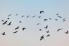 Flyga flocken av lösa fåglar Royaltyfria Foton