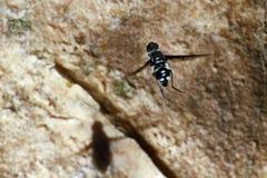 Flyga flugan Royaltyfri Foto