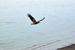 Flyga guld- Eagle över havet Arkivbilder