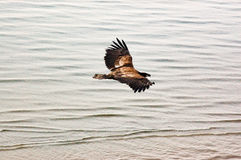 Flyga guld- Eagle över havet Arkivbild