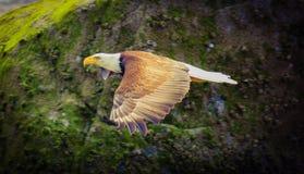 Flyga guld- skalliga Eagle royaltyfri fotografi