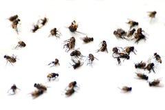 Flyga högflugan, många massan av flugaflugan som är död på vit jordning, flugor är bärare av den selektiva fokusen för tyfustuber royaltyfri bild