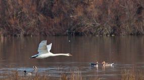 flyga mute över swanvatten arkivfoto
