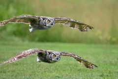 flyga owlen Royaltyfria Foton