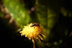 Flyga pollen f?r bi mot efterkrav i gul maskrosblomma med en bakgrund av utbrett gr?nt gr?s royaltyfri foto