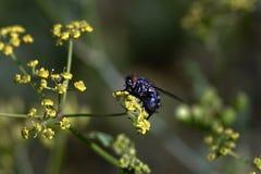 Flyga pollinera en gul blomma royaltyfri bild