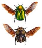 Flyga rygg- och ventral sikt för skalbagge i flykten - Arkivfoto