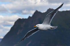 Flyga seagullen i berg, Norge royaltyfria bilder