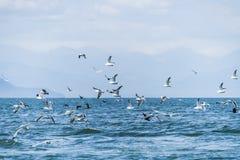 Flyga seagullen på havet av Okhotsk, Ryssland arkivbilder
