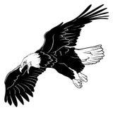 Flyga skalliga Eagle Fotografering för Bildbyråer