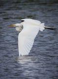 Flyga stora vita ägretthägerhandlag påskynda på vatten av dammet Fotografering för Bildbyråer