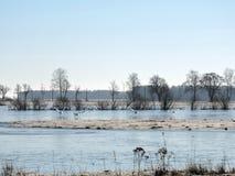 Flyga svanar över flodfält, Litauen arkivfoton