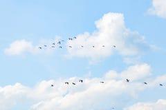 Flyga vita pelikan Arkivbilder