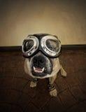 Flygarebulldogg i goggles Arkivbilder