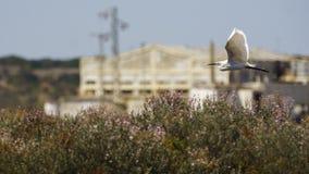 FlygEgretta Garzetta för liten ägretthäger arkivfoton