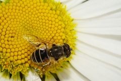 Flyger den bästa sikten för makroen av en caucasian blomma för fluffig grå färgbrons ar Arkivbilder