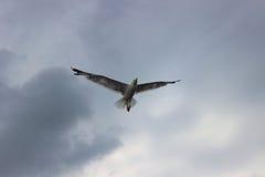 Flyget av kormoran i stormigt väder Royaltyfri Bild