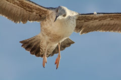 Flyget av seagullen Arkivbilder
