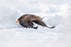 Flyget Vit-tailed örnen, Haliaeetusalbicillaen, Hokkaido, Japan Handlingdjurlivplats med is Eagle i fluga Eagle kamp med f royaltyfri foto