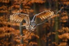 FlygEurasian Eagle Owl, Bubobubo, med öppna vingar i skoglivsmiljö, orange höstträd arkivfoton
