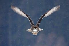 FlygEurasianEagle uggla med öppna vingar med snöflingan i snöig skog under kall vinter Handlingdjurlivplats från naturen B royaltyfria foton