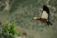Flygfågel Arkivbilder