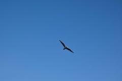 Flygfågel i den blåa himlen Arkivbild