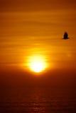 Flygfågel och Goa solnedgång Royaltyfri Fotografi